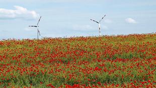 Mohnfelder mit Windkrafträdern am Horizont